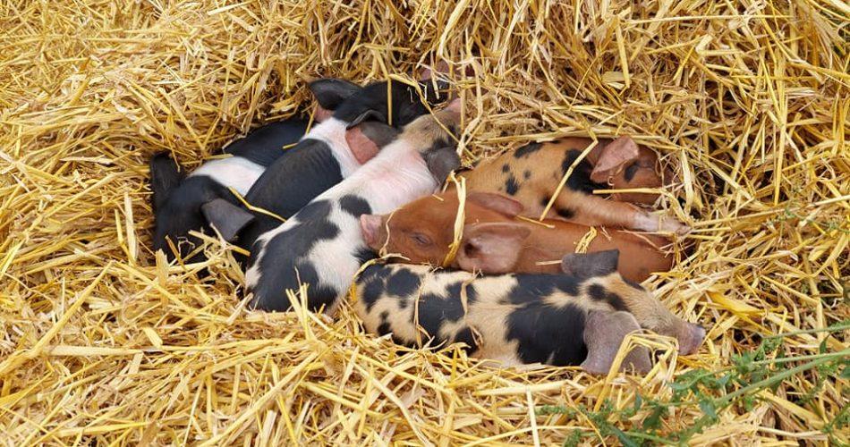 Greenacres Piglets