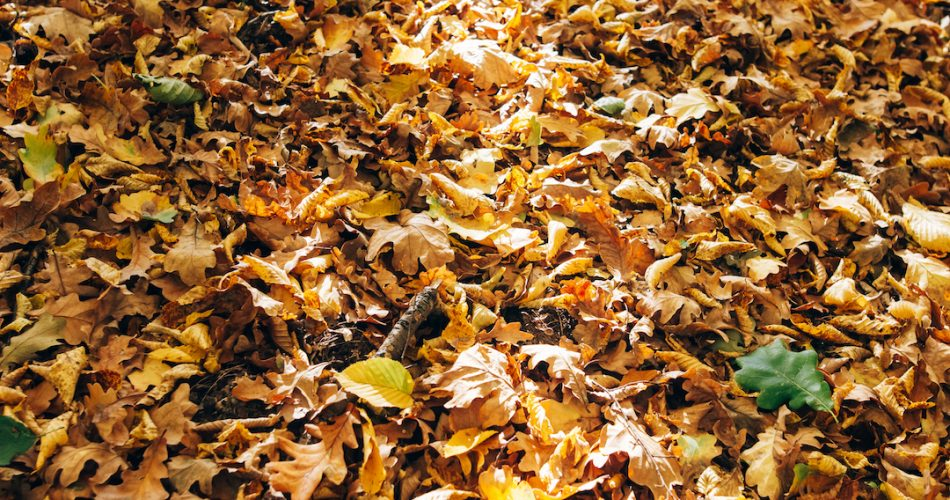 Autumn woods. Beautiful yellow and brown fall leaves in sunlight on ground in sunny warm forest. Autumnal background. Oak tree leaf. Hello autumn